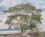 Ngorongoro_Acacia_xanthophloea